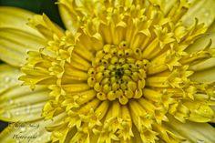 Mellow Yellow - Macro of yellow flower in Sapporo Japan