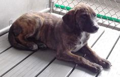 Robeson County - Ditto ID #15-D2890 -Approx. 3 month old Lab/Pit mix. She's shy but wants to be loved. Her tail wags while you talk to her. Pretty girl that will grow into a wonderful companion given time to adjust to her new home.  If you can save me, please contact 910-865-2200 St. Pauls NC https://www.facebook.com/147480128656677/photos/a.793297084074975.1073741838.147480128656677/935309533207062/?type=1&comment_id=936084096462939&notif_t=comment_mention