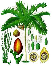 "Areca Catechu | Areca catechu Areca catechu is the areca palm or areca nut palm betel palm, Filipino: bunga, Indonesia/Malay: pinang, Malayalam: അടക്ക adakka, Kannada: ಅಡಿಕೆ Adike), ( in Tamil ""kamuhu"" in Sinhala ""Puwak"" ) a species of palm which grows in much of the tropical Pacific, Asia, and parts of east Africa. The palm is believed to have originated in the Philippines. but is widespread in cultivation"