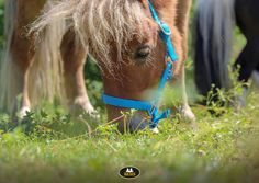 Heb jij onlangs iets gekocht in de MHS Ruitershop webshop? Plaats een foto van jouw paardje met het item in de comments en laat weten hoe het item bevalt. Horse Supplies, Equestrian, Shetland Ponies, Pony, Mini Horses, Groot, Animals, Pony Horse, Animales