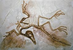 Fossil of an Archaeopteryx found near Workerszell, Germany, in 1951.  A bird with reptilian characteristics
