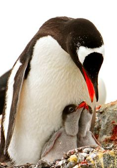 PHOTO GALLERY: Penguins of Antarctica