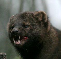 70 Pine Martin Fisher Ideas Animals Wild Animals Mammals
