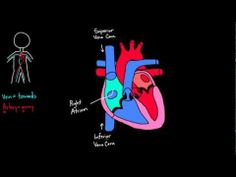 Path of blood through the heart, into lungs, back into heart then out into body.
