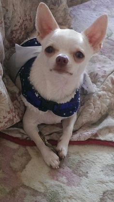 jamie a little white chihuahua Teacup Chihuahua, Chihuahua Puppies, Dogs And Puppies, Baby Animals, Cute Animals, Pet Dogs, Pets, Doggies, Dog Collar Tags