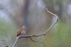 Thrush Nightingale. Photo by Remo Savisaar.