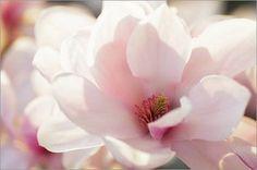 Leinwandbild 90 x 60 cm - Magnolien Makro Zarte Welt der Blüten von Tanja Riedel - auch in anderen Größen und als Poster erhältlich von POSTERLOUNGE, http://www.amazon.de/dp/B00CQ1TZ1Q/ref=cm_sw_r_pi_dp_gJMKrb157M6TS