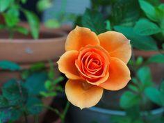 #bloom #blossom #close up #flora #flower #macro #plant #rose