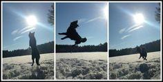 #Kenai - Black German Shepherd ~ jumps for joy