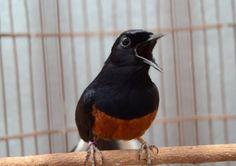 Tips Melihat Ciri Burung Murai Batu Dapat Masuk Lomba Burung Berkicau