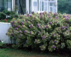 Variegated hebe 'Variegata' • Hebe x andersonii 'Variegata' • Plants & Flowers • 99Roots.com