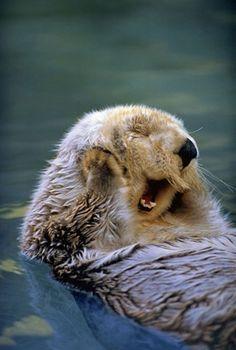 Lontras podem ser tão fofinhas e simpáticas quanto cachorros - Animais