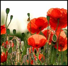 Love red poppies they grow wild in Italy.