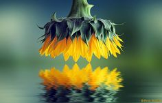 """500px / Photo """"☼ Sunflower ☼"""" by Bess ...   Cool photography"""