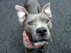 SAFE 10-25-2015 by  Heaven Can Wait Rescue - NY --- Manhattan Center BAIJAN – A1054506  MALE, GRAY, AM PIT BULL TER MIX, 5 yrs STRAY – STRAY WAIT, NO HOLD Reason STRAY Intake condition EXAM REQ Intake Date 10/11/2015 http://nycdogs.urgentpodr.org/baijan-a1054506/