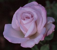 Macho Man Hybrid Tea Rose - mauve in color, a tough and stocky guy in the garden