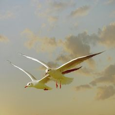 Two Mediterranean Gulls In Flight by Christiana Stawski