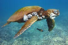 Put Down That Pineapple: Farm Runoff Is Killing Hawaiian Sea Turtles
