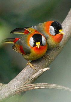 Image detail for -Silver-eared Mesia ( Mesia argentauris ) Cute Birds, Pretty Birds, Small Birds, Colorful Birds, Little Birds, Beautiful Creatures, Animals Beautiful, Most Beautiful Birds, Kinds Of Birds