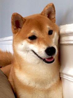beautiful Shiba Inu