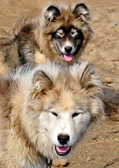 Greenland Dog::A large breed of husky-type dog kept as a sled dog and for hunting polar bear and seal. This is an ancient breed, thought to be directly descended from dogs brought to Greenland by the first Inuit settlers.