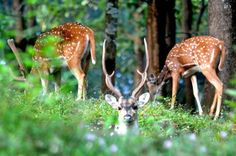 Deers at western ghats