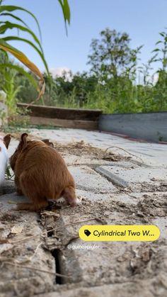 Guinea Pig Run, Baby Guinea Pigs, Cute Funny Animals, Cute Baby Animals, C&c Cage, Cute Animal Videos, Diy Stuffed Animals, Brown Bear, Puppies