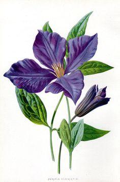 Clematis Purple - Antique Botanical Print 1887 Flower Lithograph