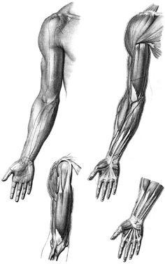 Musculos brazo 1