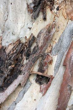 Texture & Pattern - Gum Tree Bark.