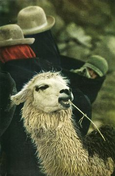 """mysleepykisser-with-feelings-hid: """" Llama enjoys a snack in the open-air marketplace at Ancoraimes, Peru National Geographic   February 1971 """""""