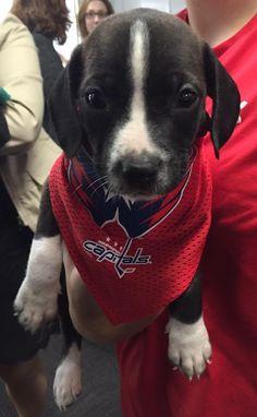 check out 31fa0 2f5ce washington capitals dog jersey