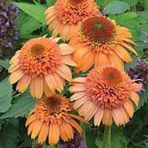 """Supreme Cantaloupe Echinacea-  Double blooms with unique color. The """"Supreme"""" conflowers are a partnership release from Terra Nova Nurseries and Blooms of Bressingham featuring large flowers with unique colors and full, branched, heavy-flowering plants with extra-long bloom seasons. This eye-catcher has apricot-orange, domed blooms. When young, they look like brown-eyed gerbera daisies."""