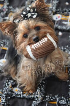 There's two times of year for me: Football season, and waiting for football season...Yorkie style