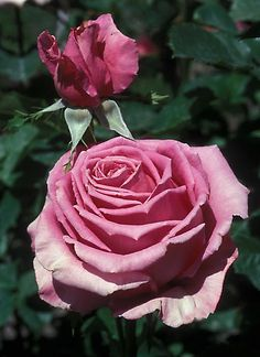 'Perfume Beauty' Hybrid Tea Rose