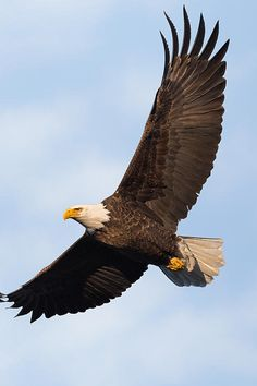 The American Bald Eagle, soaring thru the sky over the state of Connecticut