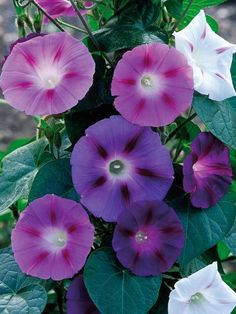 Common morning glory is a climbing annual with trumpet-shaped flowers that may be blue-purple, magenta, pink or white. Needs full sun. H 18 ft (5.5 m); S 10 ft (3 m).