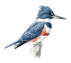 Image result for kingfisher drawing pictures