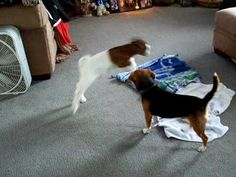 This Beagle & Baby Goat Are BFF's, and It's The Cutest Thing Ever!