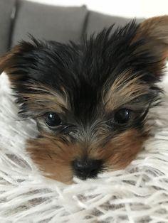 My life! #baby#yorkie Baby Yorkie, My Life, Dogs, Animals, Animales, Animaux, Pet Dogs, Doggies, Animal