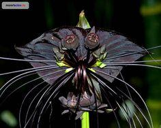 Tacca Chantrieri-or Black Bat Plant . perfect for Austin! Strange Flowers, Unusual Flowers, Unusual Plants, Rare Flowers, Rare Plants, Black Flowers, Exotic Plants, Amazing Flowers, Beautiful Flowers