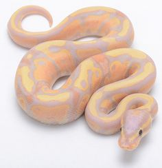 Banana Fire Ball Python - Now if never own a snake, but if I did, this would be it. Pretty Snakes, Cool Snakes, Beautiful Snakes, Colorful Snakes, Python Royal, Ball Python Morphs, Beautiful Creatures, Animals Beautiful, Cute Animals