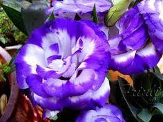 Resultado de imagen de anemona flor