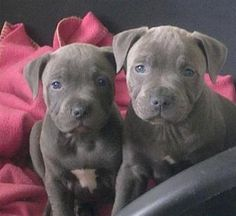 blue staffordshire bull terrier - Google Search