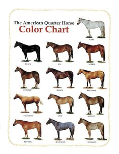 Quarter Horse color chart--duns, buckskins and grullas are my faves.