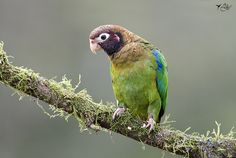 Brown-hooded Parrot (Pionopsitta haematotis) - photo by Johanna Murillo
