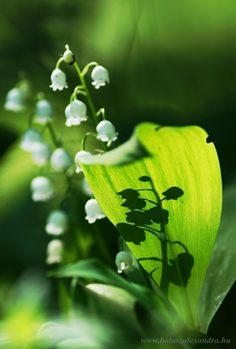 Lily of the valley ~ Gyöngyvirág Lily Of The Valley, Flowers, Plants, Plant, Royal Icing Flowers, Flower, Florals, Floral, Planets