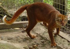 Gato-vermelho-de-bornéu - Catopuma badia é simplesmente o felino mais raro e esquivo do mundo. Tudo o que se sabe sobre ele foi conhecido com base em apenas 12 espécimes capturados (isso porque a espécie foi descoberta em 1855). Fica claro quão furtivo esse animal é. O felino habita a Reserva Florestal de Dermakot, na Malásia. Não há subespécie conhecida. É especulado que haja bastante desses gatos, mas ele é considerado em perigo crítico de extinção pelo simples fato de que ninguém consegue…