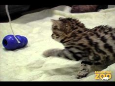 Looks like this little Black-footed cat has his very own KONG! Black-footed cats are the smallest of the African felines. Black Footed Cat, African Cats, Brookfield Zoo, Yellow Cat, 3 Month Olds, Cat Breeds, Big Cats, Cubs, Little Ones