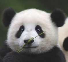 Panda bear - My Total Favorite animal! I Love Panda's! Niedlicher Panda, Panda Love, Cute Panda, Big Panda, Hello Panda, Panda Head, Beautiful Creatures, Animals Beautiful, Photo Panda